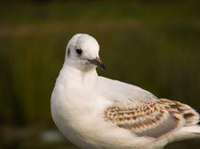 Free Sea-gull Stock Photos - 3327093