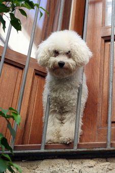 Free White Poodle Royalty Free Stock Image - 3327196