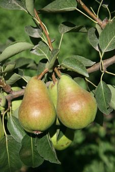 Free Two Ripe Pears Stock Image - 3327631