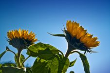 Free Sunflowers Royalty Free Stock Photos - 3327888
