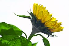 Free Sunflower Royalty Free Stock Photo - 3327895