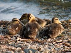 Free Ducklings Stock Image - 3328201