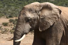 Free African Bull Elephant Profile Royalty Free Stock Photos - 3329708