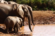 Free Elephant Family Drinking Stock Images - 3329834