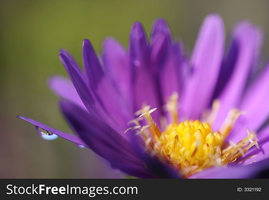 Blue aster with drop of water
