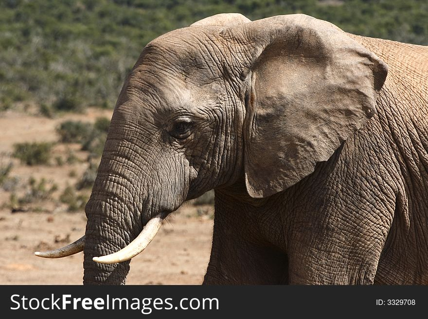 African Bull Elephant Profile Free Stock Images Photos