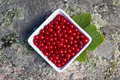 Free Redcurrants Royalty Free Stock Photography - 33208017