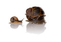 Free Mother And Child Snails Royalty Free Stock Photos - 33208118