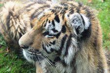 Free Tiger Cub Stock Image - 33202371
