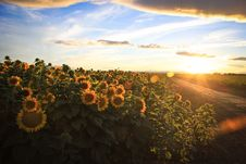 Free Sunflower Fields On A Country Road Royalty Free Stock Photos - 33205958