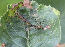 Free Crane Flies &x28;Tipulidae &x29; Nephrotoma Stock Images - 33206384