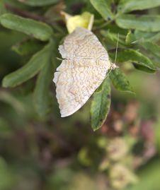 Free Moth: Camptogramma Bilineata Royalty Free Stock Photo - 33206685