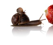 Mother And Baby Snails On The Way To A Big Strawberry Royalty Free Stock Photography
