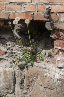 Dandelions Growing On An Old Brick Wall, Vertical Format