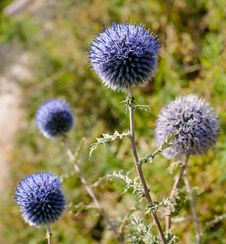 Free Wild Thorn Covered Landscape With Blue Balls Stock Photo - 33228280