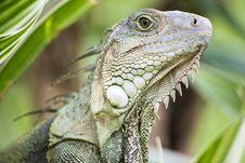 Free Iguana Royalty Free Stock Image - 33237936