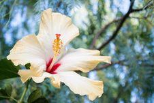 Free Ibiscus Stock Photography - 33239032