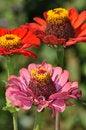 Free Pink And Orange Zinnia Flowers Stock Photo - 33240530