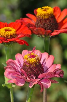 Free Pink And Orange Zinnia Flowers Stock Photo - 33240530