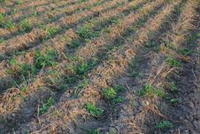 Free Dried Up Potato Field With A Weeds Stock Images - 33242634
