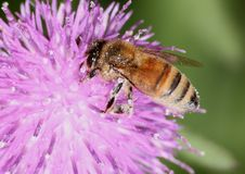Free Honeybee On Thistle Royalty Free Stock Images - 33244969