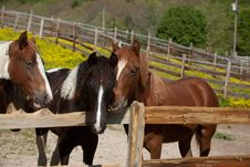 Free Horses Royalty Free Stock Photography - 33247077