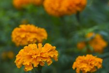 Free Marigold Stock Images - 33247244