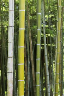 Free Bamboo Stock Photo - 33247250