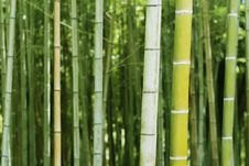 Free Bamboo Stock Photography - 33247252