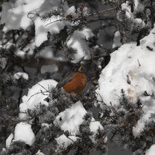 Free Snow Bird Royalty Free Stock Image - 33256036