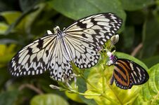 Free Twoo Butterflies Royalty Free Stock Images - 33256809