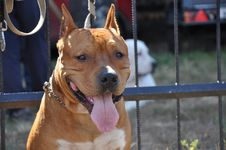 Free Summer Show Dog Stock Images - 33257214