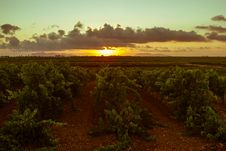 Free Sicilian Grapevines At Sunset Royalty Free Stock Photography - 33257477