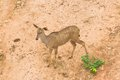 Free Nyala Deer From Top View Royalty Free Stock Images - 33262899