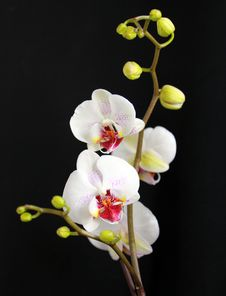 Free Orchid Stock Photo - 33260460