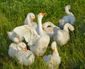 Free Gaggle Of White Geese 3 Royalty Free Stock Photos - 33272368