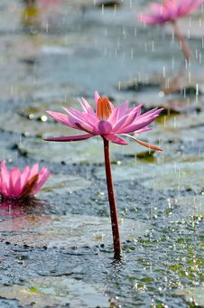 Wild Lotus Flower Under Rain Stock Images