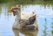 Free Pair Of Geese Stock Photos - 33272353