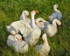 Free Gaggle Of White Geese 3 Royalty Free Stock Photos - 33272368