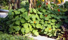 Free Nasturtium Larger Bush On The Vegetable Garden Royalty Free Stock Photography - 33276897