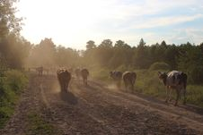 Cows Coming Back From Pasture Stock Photography