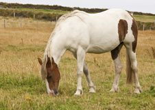 Free Horse Eating Grass Stock Photo - 33296160