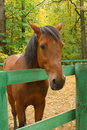 Free Chestnut Horse Royalty Free Stock Photography - 3334237
