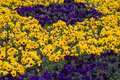 Free Yellow And Blue Violas Stock Image - 3334661