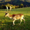 Free Wild Deer In The Alpes. Stock Photo - 3335230