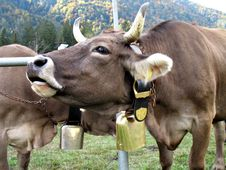 Free Cow Moo Stock Photo - 3330790