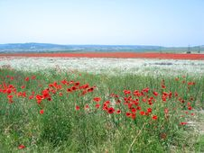 Meadow With Red Poppy Royalty Free Stock Photography