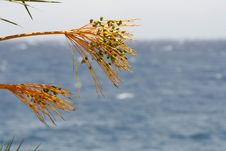 Free Date Tree, Red Sea Beach Royalty Free Stock Image - 3331436
