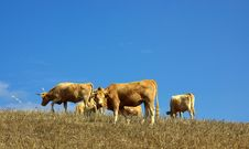 Free Cows  In The Dry Field Stock Photography - 3331872