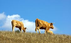 Free Cows  In The Dry Field Stock Images - 3331894